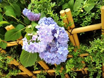 20120602紫陽花1.jpg