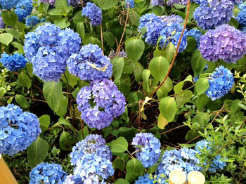 20120602紫陽花2.jpg