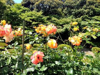 20120610薔薇2.jpg