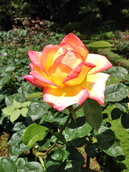 20120610薔薇4.jpg